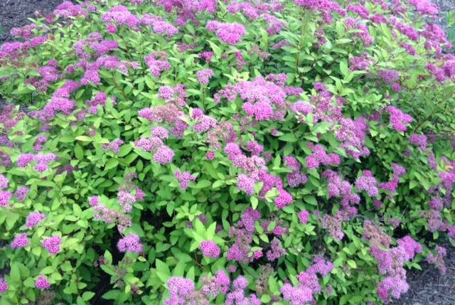 Spirea shrub in bloom