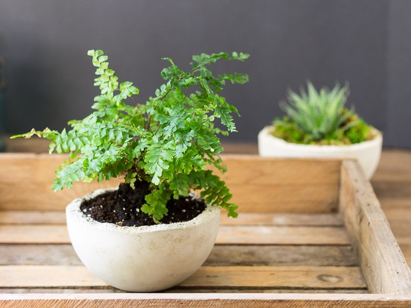 Makers Mix Planters - Maiden Hair Fern in pot