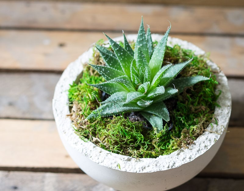 Makers Mix Planters - succulent potted with moss