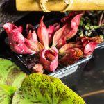 Patio Pond - pitcher plant