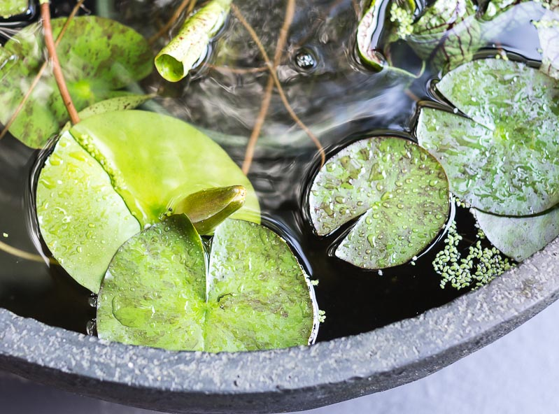 Patio Pond - water lily bud