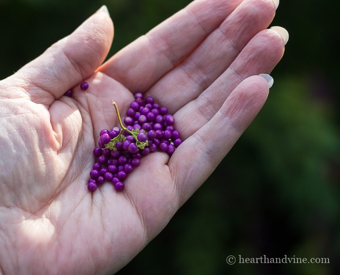 Callicarpa aka beautyberry shrub berries in hand.