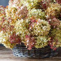 dried-limelight-pee-gee-hydrangea-basket