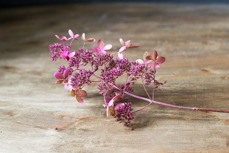 Dried hydrangea blooms with pink spray paint