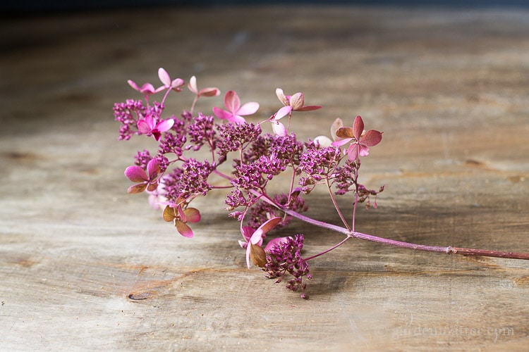 pink-spray-painted-hydrangea-branch