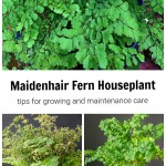 Maidenhair fern in three stages of growth