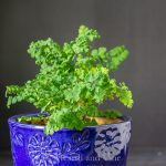 Maiden hair fern in pot