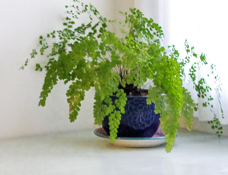 Maidenhair Fern: A Hard to Kill Houseplant
