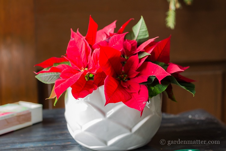 A simple poinsettia arrangement in a white vase