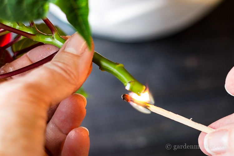 Burn the cut edge of the poinsettia stem to cauterize the would
