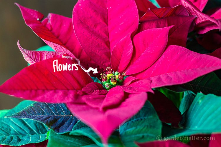 The center green clusters are the true flowers of the poinsettia