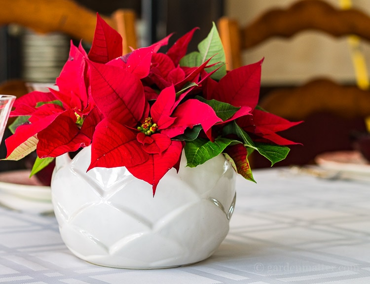 An easy poinsettia arrangement that will last for a week and can be made in about 15 minutes.