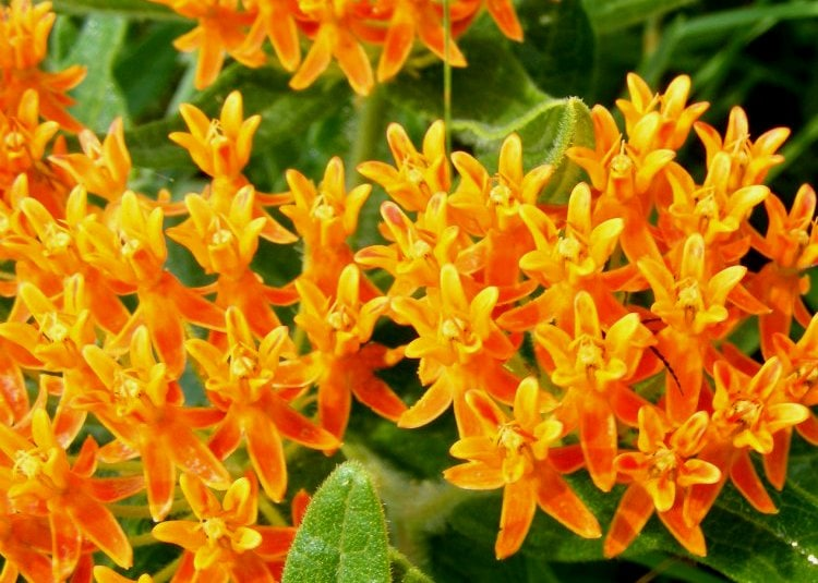 Asclepias tuberosa common butterfly weed as the perennial plant of the year.