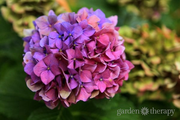 How to make your hydrangea change colors.