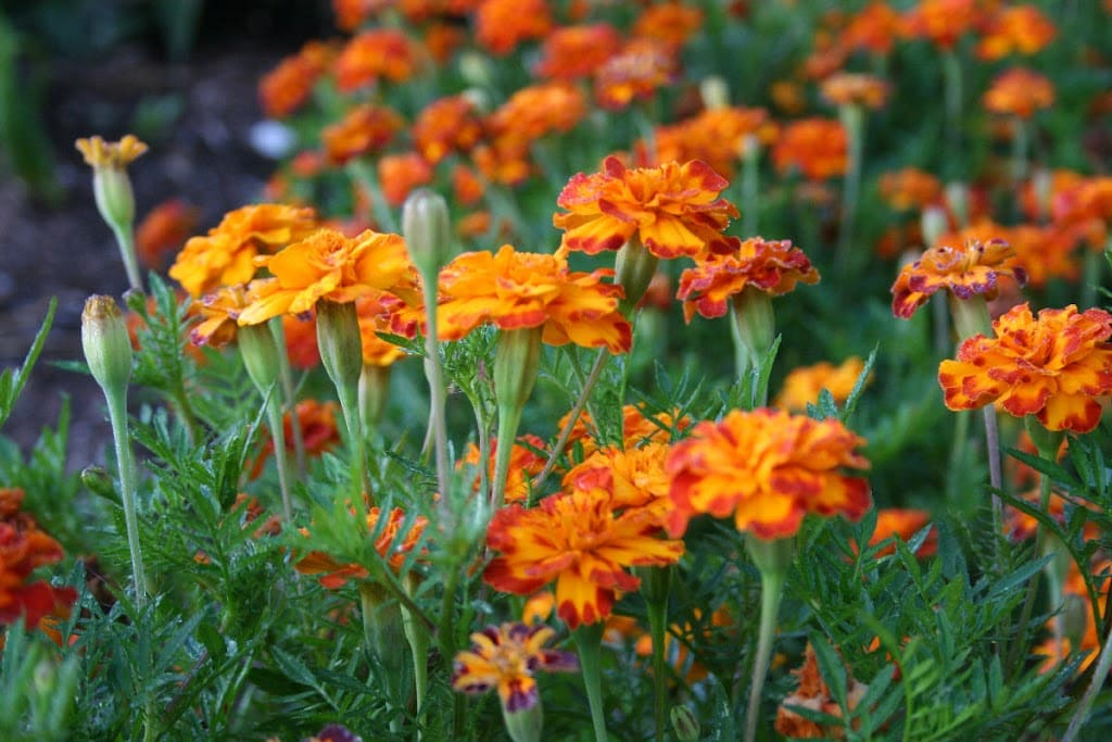 Add marigolds to the veggie garden.
