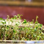 After ten days the micro greens are ready to harvest.