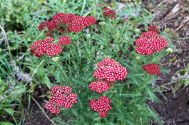 Cut flower perennial Pretty Woman Yarrow