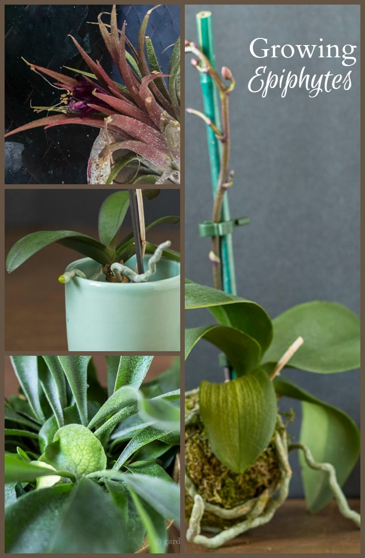 Learn about different epiphytes also known as air plants that you can grow in your home.