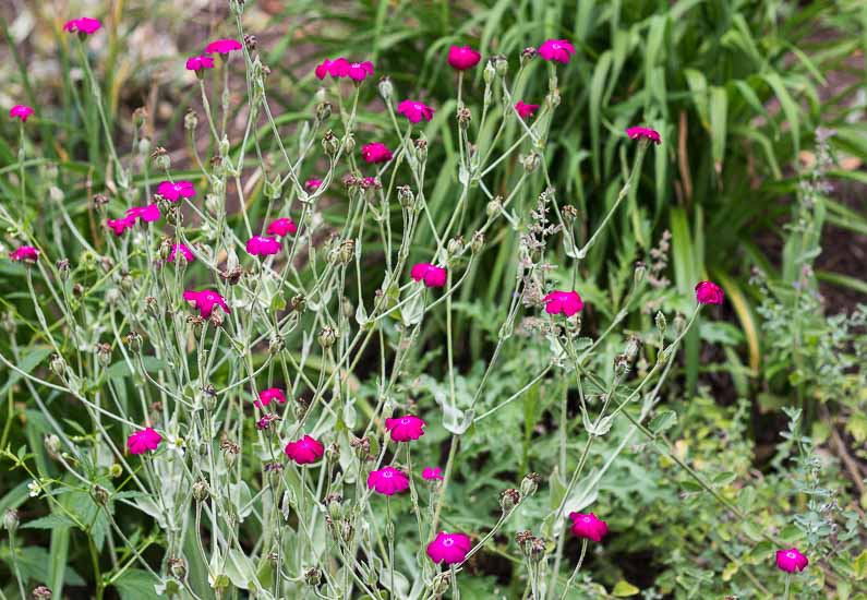 Rose Campion is a great perennial that readily seeds in the garden make a good cut flower.
