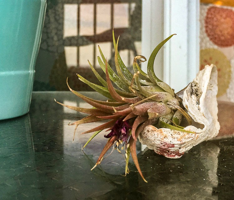 Air plant Tillandsia in bloom