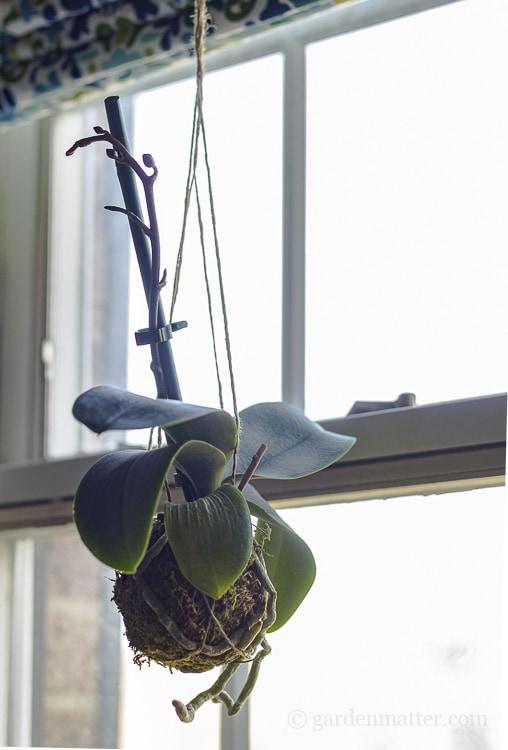 Hanging orchid kokedama in window.