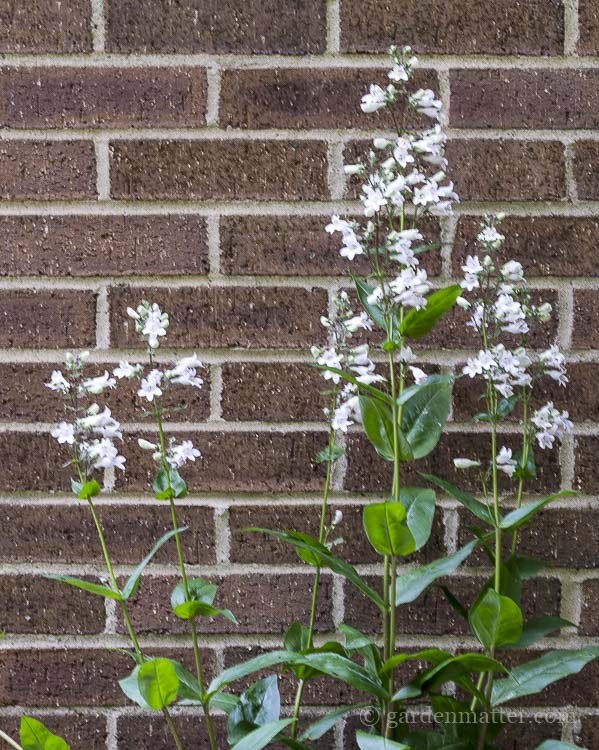 White flowers from Penstemon perennial for floral designs.