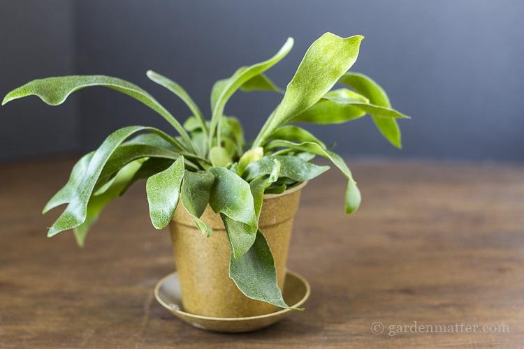 Staghorn fern in pot