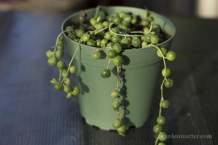 String of pearls aka Senecio rowleyanus plant.