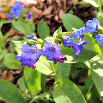 blue pulmonaria flowers aka lungwort