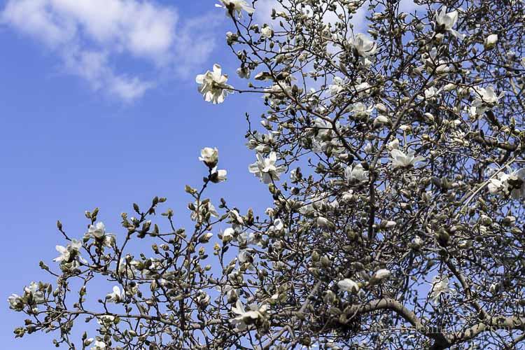 Magnolia blooming in spring