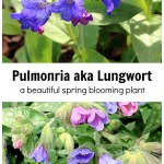 Two images of pulmonaria flowers