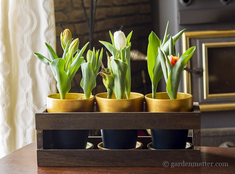 Blue and gold pots in dark walnut stained crate with tulips