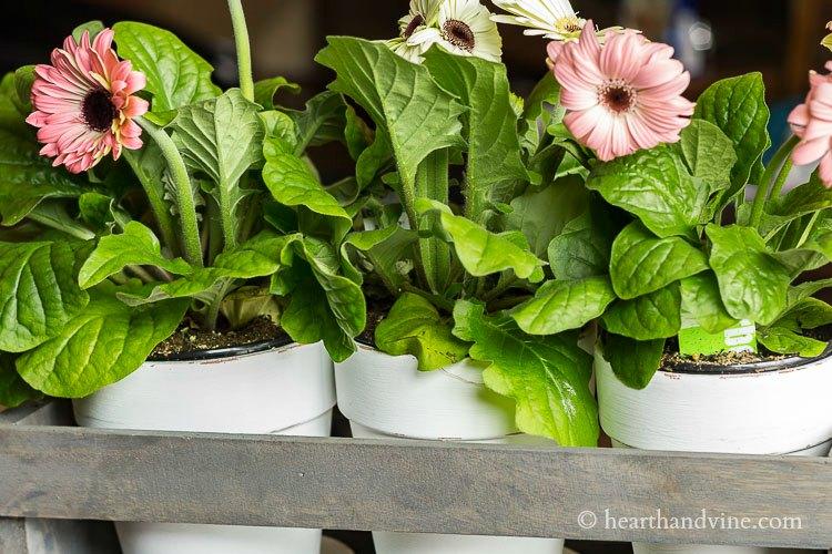 Gerbera daisies in white pots