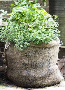 Herb garden planted in a burlap sack.