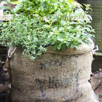 Herb garden planted in a burlap sack.