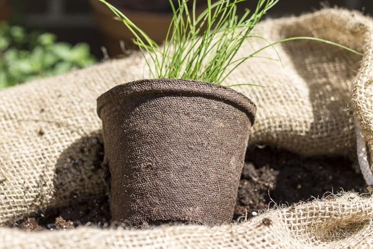 Chives in biodegradable pot.