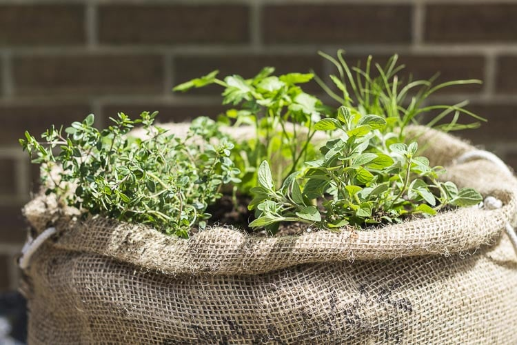 Herbs planted in burlap sack.