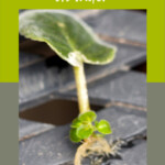 African violet leaf with roots and new plant growing at bottom