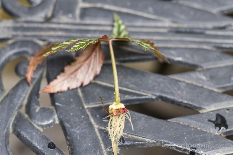 Begonia leaf rooted in water