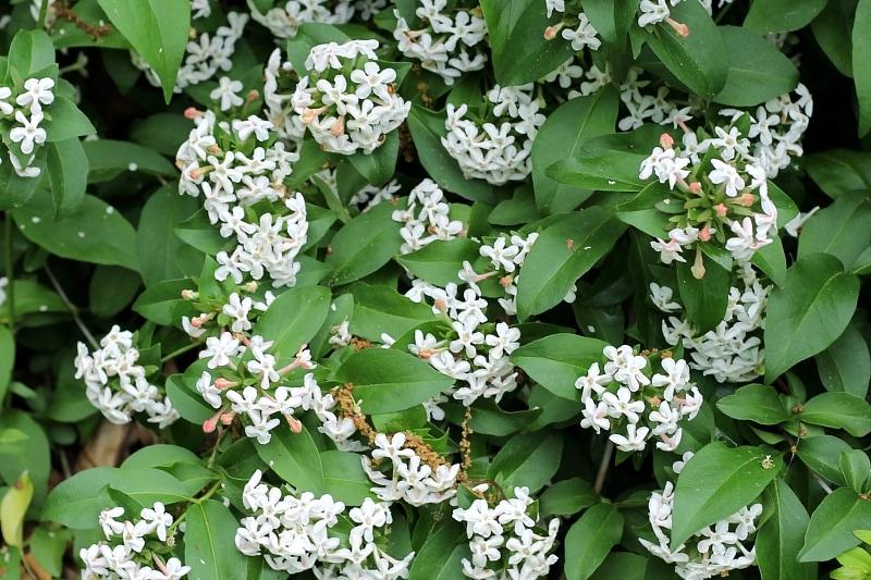 Abelia shrub in bloom in spring.