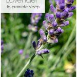 Munstead lavender flowers in garden.