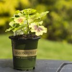 Chartreuse Geranium in pot