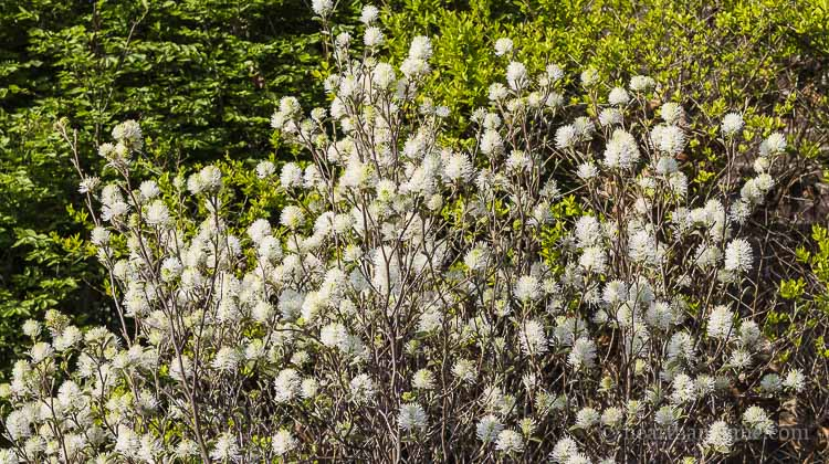 Fothergilla scented blooms in spring.