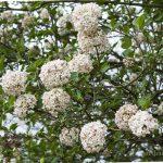 Favorite fragrant plants koreanspice viburnum shrub.