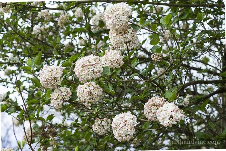Favorite fragrant plants koreanspice viburnum shrub.