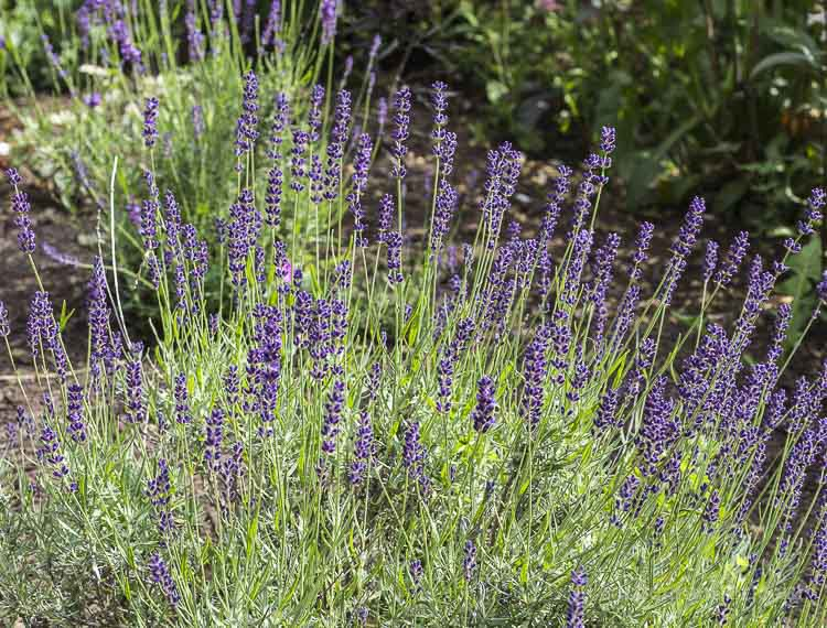 Lavender hidcote for scented blooms and foliage.