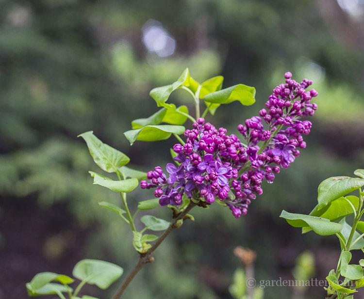 Lilac shrub scented bloom.
