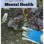 Hands with gloves planting purple salvia and text overlay stating How gardening improves mental health