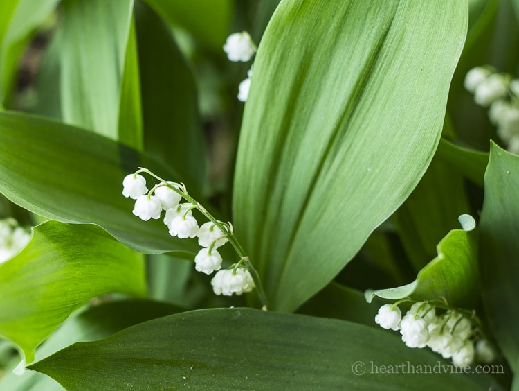 Lily of the valley perennial for fragrance.