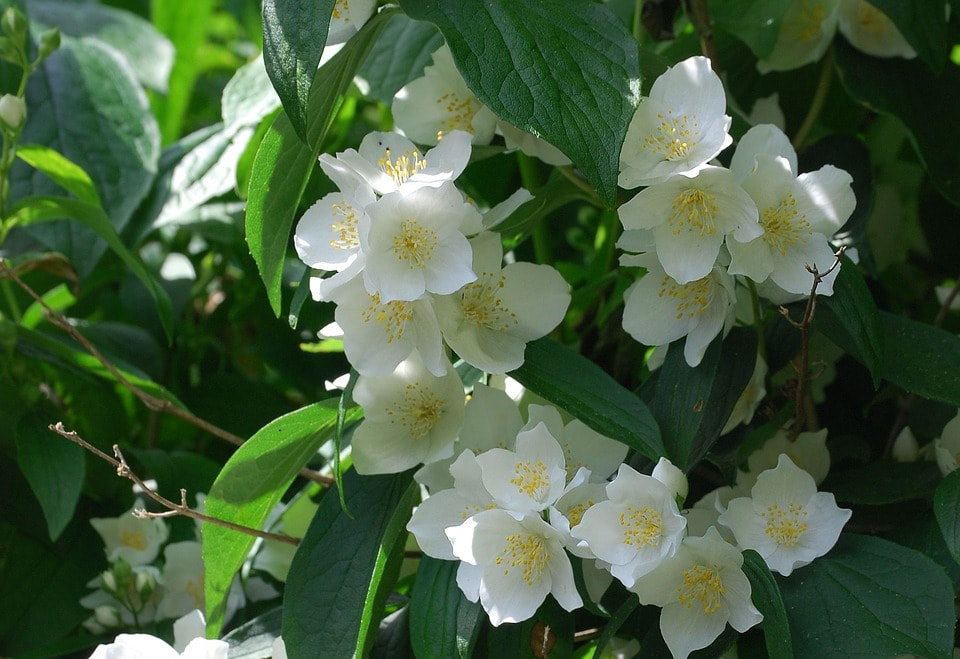Scented shrub Mock Orange.